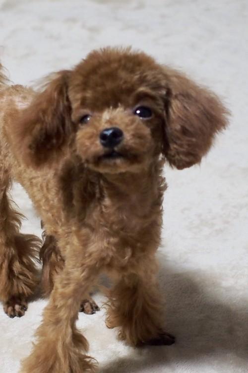 トイプードルの子犬(ID:1245611033)の2枚目の写真/更新日:2017-10-04