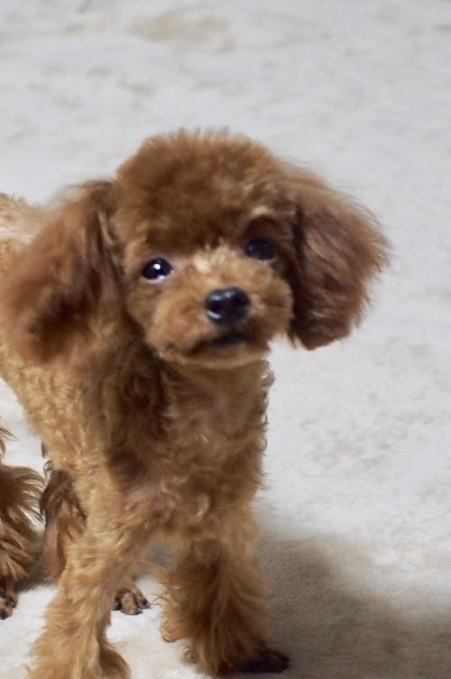 トイプードルの子犬(ID:1245611033)の3枚目の写真/更新日:2017-10-04