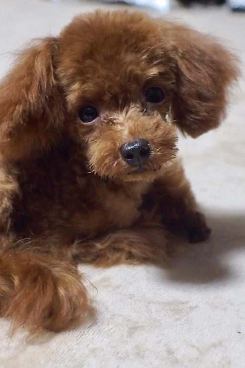 トイプードルの子犬(ID:1245611033)の4枚目の写真/更新日:2017-10-04