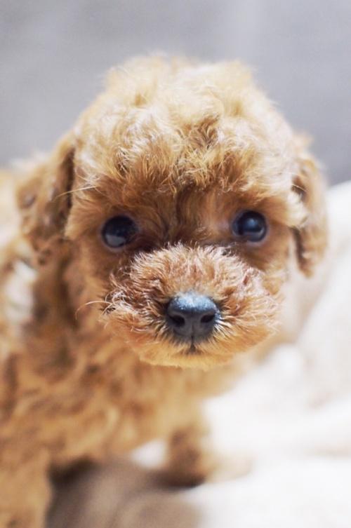 トイプードルの子犬(ID:1245611035)の1枚目の写真/更新日:2017-04-28
