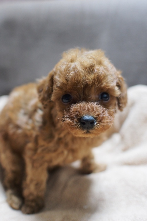 トイプードルの子犬(ID:1245611035)の3枚目の写真/更新日:2017-04-28