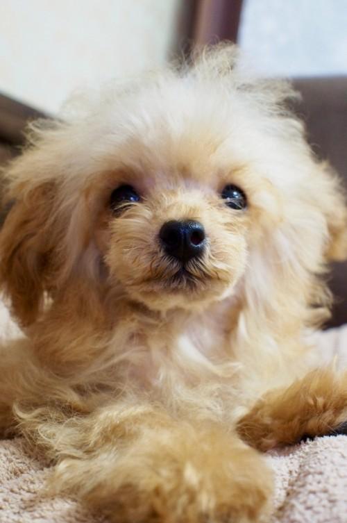 トイプードルの子犬(ID:1245611036)の1枚目の写真/更新日:2017-07-31