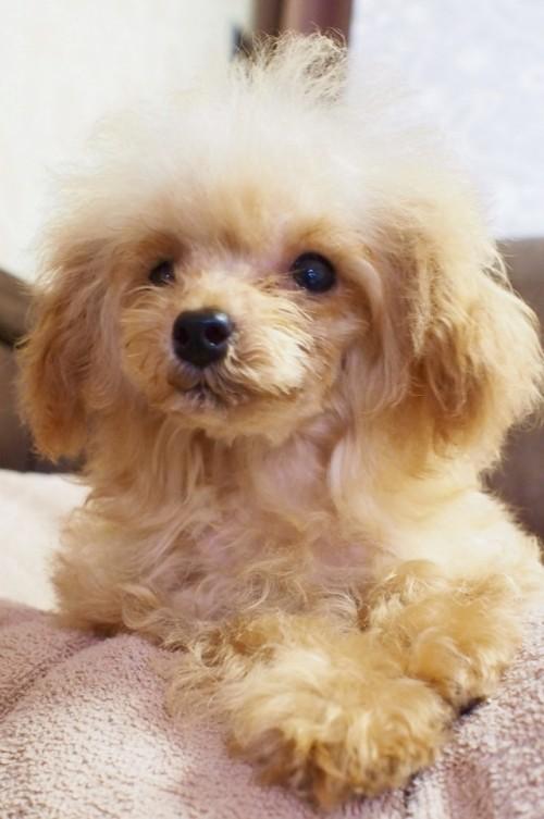 トイプードルの子犬(ID:1245611036)の2枚目の写真/更新日:2017-07-31