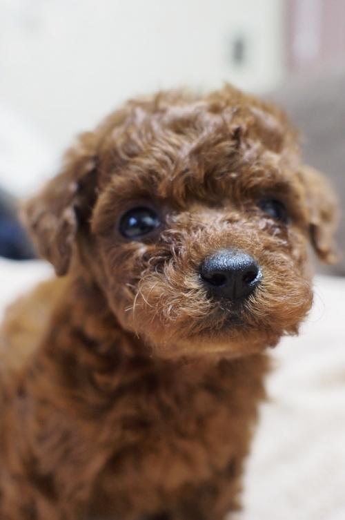 トイプードルの子犬(ID:1245611037)の1枚目の写真/更新日:2017-05-10