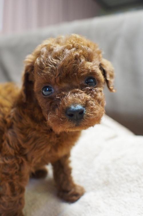 トイプードルの子犬(ID:1245611037)の3枚目の写真/更新日:2017-05-10