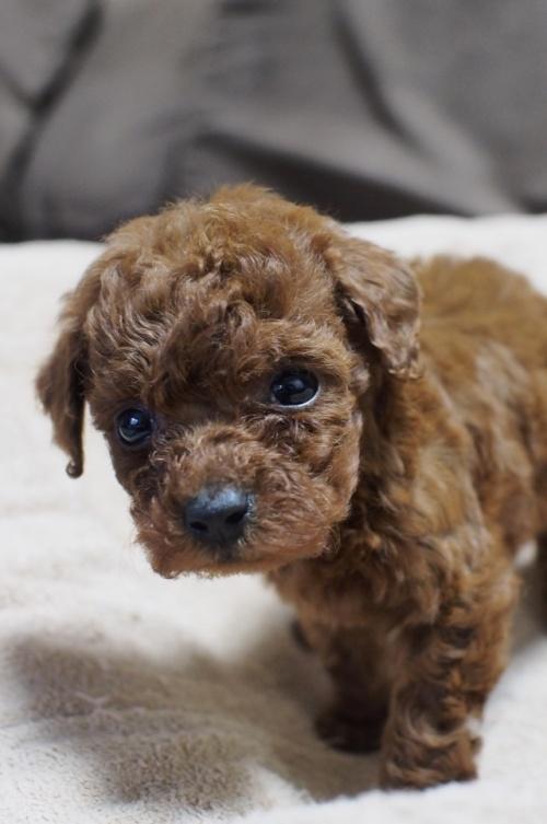 トイプードルの子犬(ID:1245611037)の4枚目の写真/更新日:2017-05-10