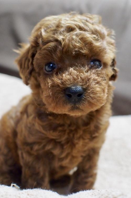 トイプードルの子犬(ID:1245611038)の1枚目の写真/更新日:2017-05-10