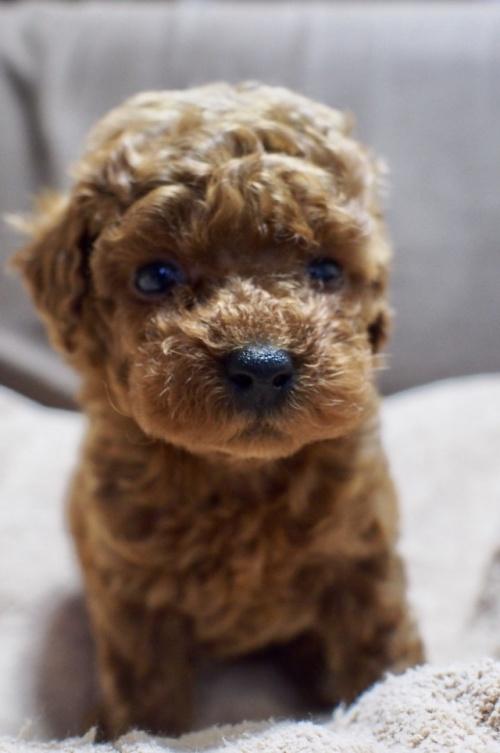 トイプードルの子犬(ID:1245611038)の2枚目の写真/更新日:2017-05-10