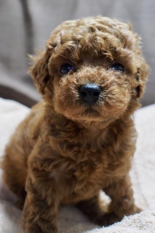トイプードルの子犬(ID:1245611038)の3枚目の写真/更新日:2017-05-10