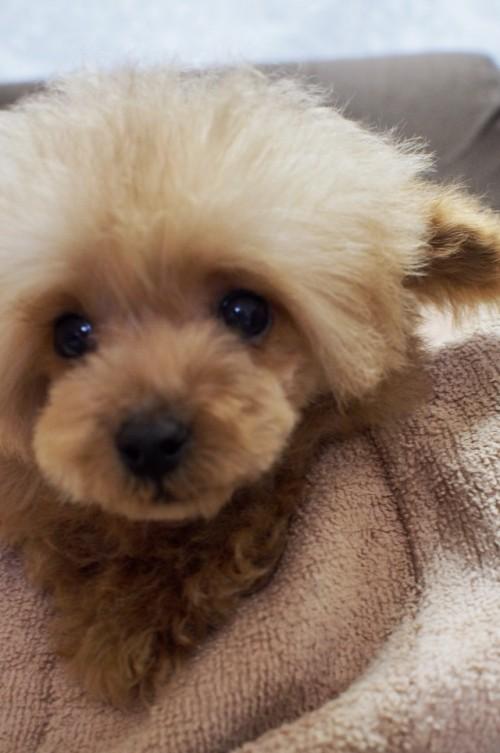 トイプードルの子犬(ID:1245611039)の4枚目の写真/更新日:2017-05-15