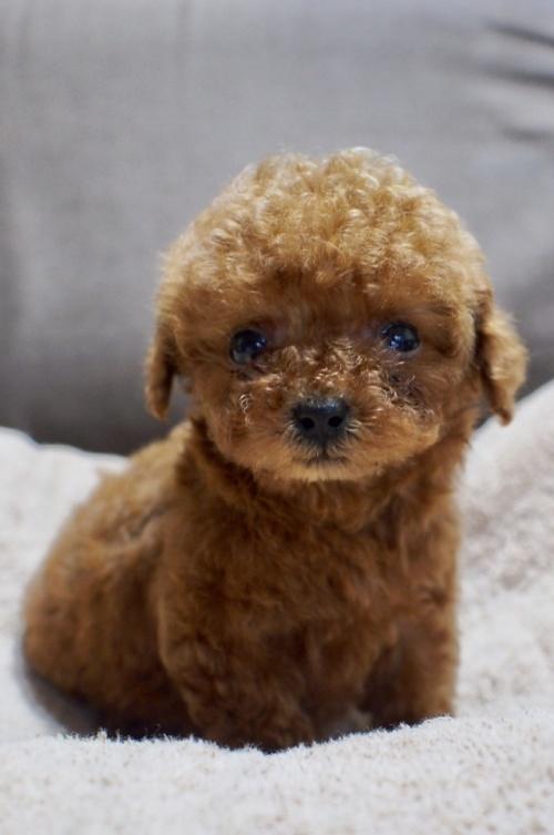 トイプードルの子犬(ID:1245611040)の1枚目の写真/更新日:2017-05-29