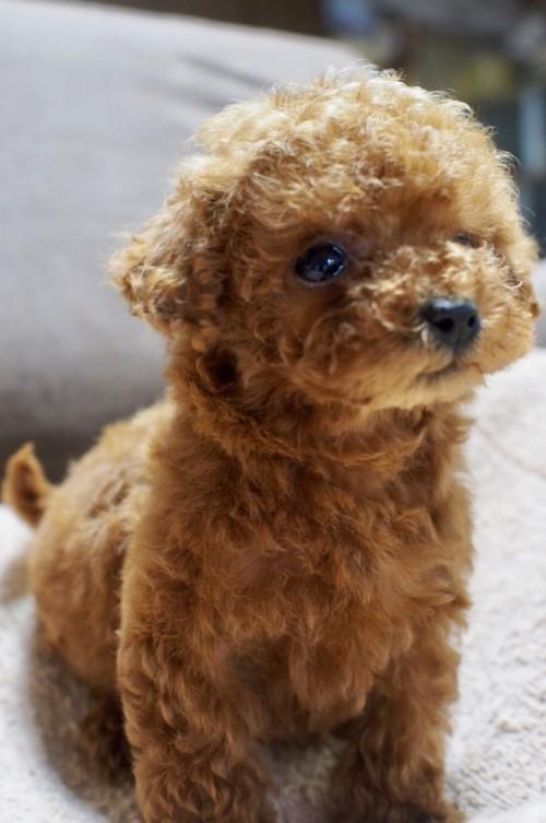 トイプードルの子犬(ID:1245611040)の2枚目の写真/更新日:2017-05-22