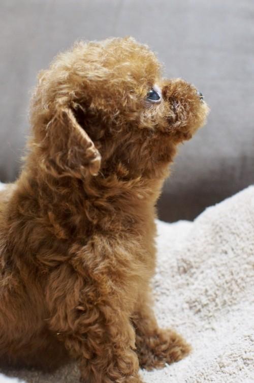 トイプードルの子犬(ID:1245611040)の3枚目の写真/更新日:2017-05-29