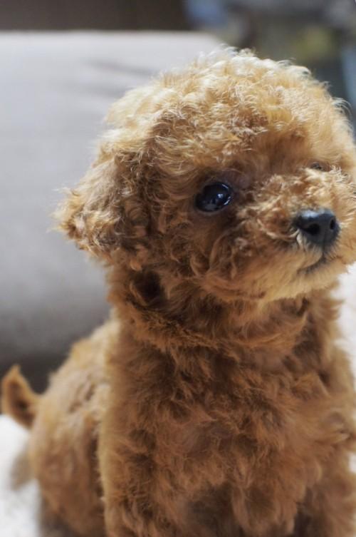 トイプードルの子犬(ID:1245611040)の4枚目の写真/更新日:2017-05-29