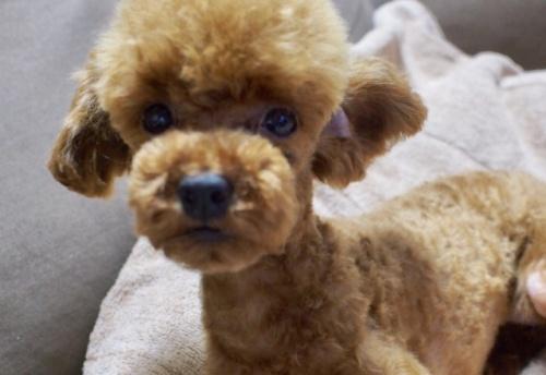 トイプードルの子犬(ID:1245611041)の1枚目の写真/更新日:2017-06-16