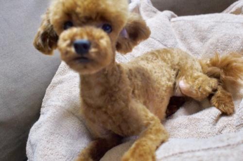 トイプードルの子犬(ID:1245611041)の2枚目の写真/更新日:2017-06-16