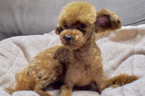 トイプードルの子犬(ID:1245611041)の3枚目の写真/更新日:2017-06-16