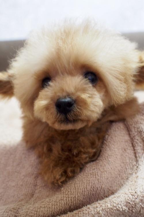 トイプードルの子犬(ID:1245611042)の1枚目の写真/更新日:2017-08-14