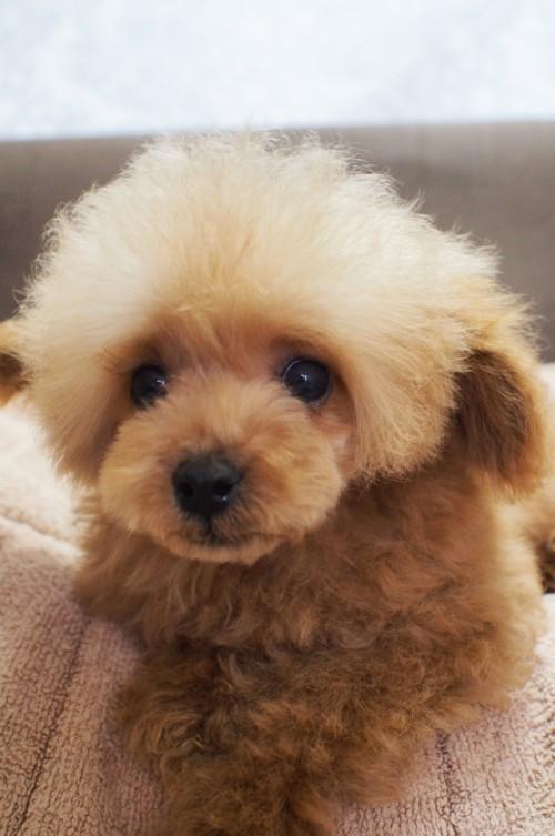 トイプードルの子犬(ID:1245611042)の2枚目の写真/更新日:2017-08-14
