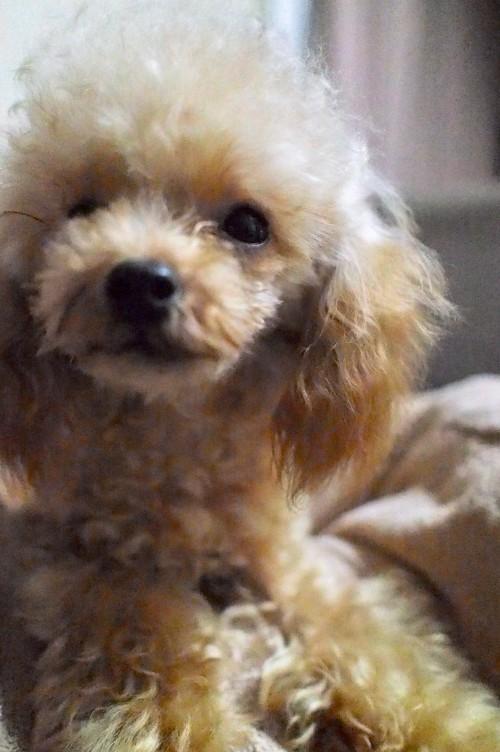 トイプードルの子犬(ID:1245611043)の2枚目の写真/更新日:2017-10-04