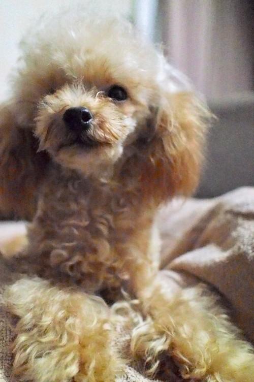 トイプードルの子犬(ID:1245611043)の3枚目の写真/更新日:2017-10-04