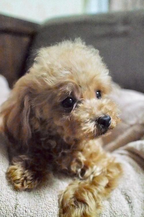 トイプードルの子犬(ID:1245611044)の1枚目の写真/更新日:2017-10-04