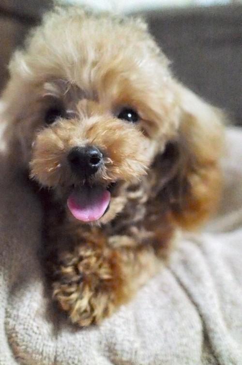 トイプードルの子犬(ID:1245611044)の2枚目の写真/更新日:2017-10-04