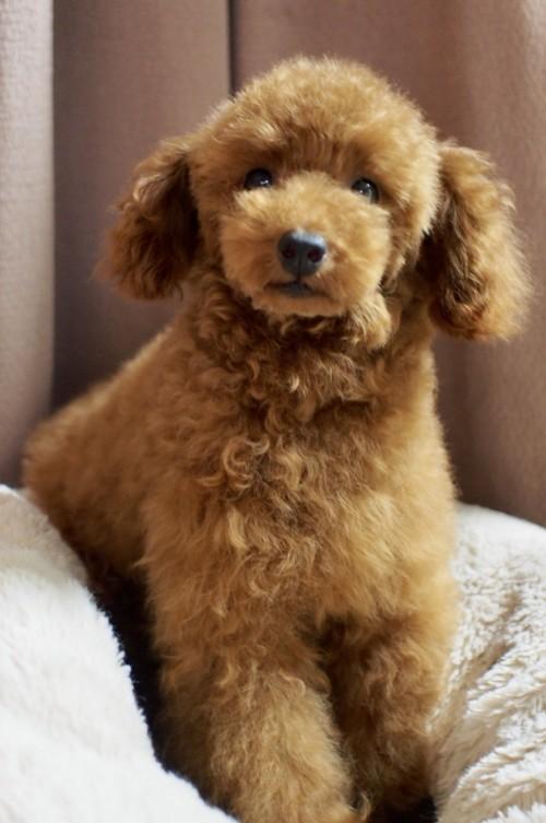 トイプードルの子犬(ID:1245611048)の1枚目の写真/更新日:2018-02-09