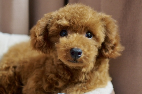 トイプードルの子犬(ID:1245611048)の2枚目の写真/更新日:2018-02-09