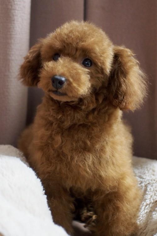 トイプードルの子犬(ID:1245611048)の3枚目の写真/更新日:2018-02-09