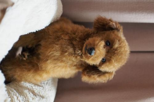 トイプードルの子犬(ID:1245611048)の4枚目の写真/更新日:2018-02-09