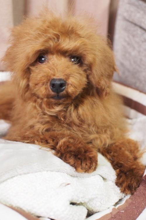 トイプードルの子犬(ID:1245611054)の1枚目の写真/更新日:2018-01-22