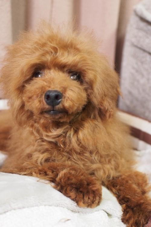トイプードルの子犬(ID:1245611054)の2枚目の写真/更新日:2018-01-22