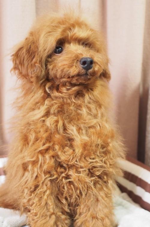 トイプードルの子犬(ID:1245611054)の3枚目の写真/更新日:2018-03-29