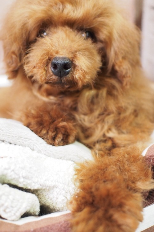 トイプードルの子犬(ID:1245611054)の4枚目の写真/更新日:2018-03-29