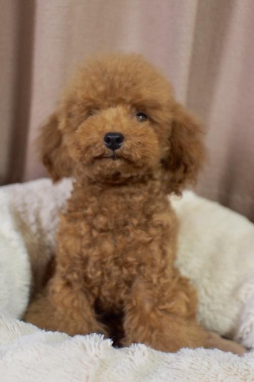 トイプードルの子犬(ID:1245611055)の1枚目の写真/更新日:2018-02-09