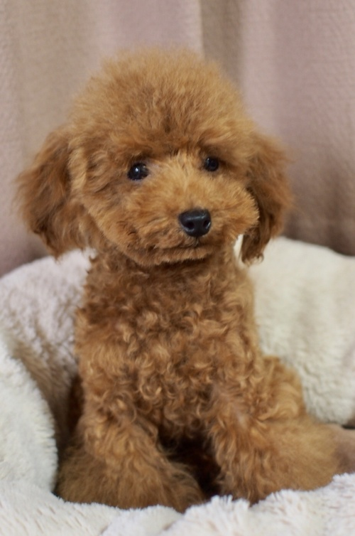トイプードルの子犬(ID:1245611055)の2枚目の写真/更新日:2018-02-09