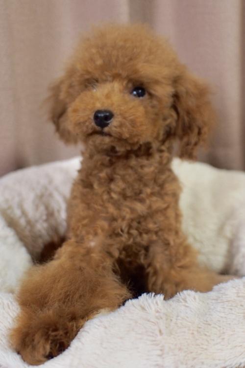 トイプードルの子犬(ID:1245611055)の3枚目の写真/更新日:2018-02-09
