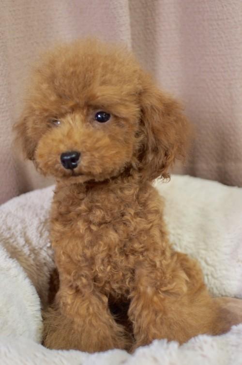 トイプードルの子犬(ID:1245611055)の4枚目の写真/更新日:2018-02-09