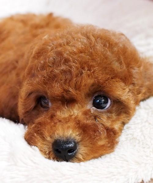 トイプードルの子犬(ID:1245611056)の1枚目の写真/更新日:2018-06-24