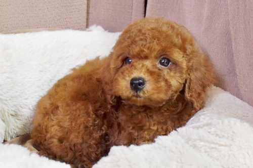 トイプードルの子犬(ID:1245611056)の3枚目の写真/更新日:2018-06-14