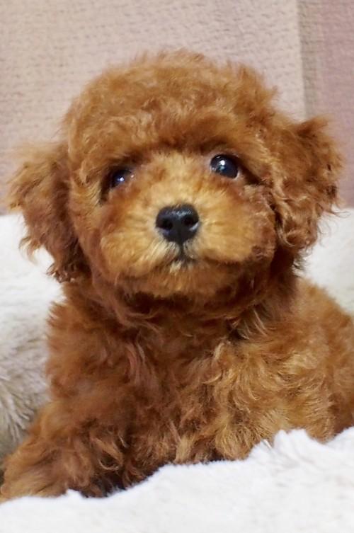 トイプードルの子犬(ID:1245611057)の1枚目の写真/更新日:2018-06-14