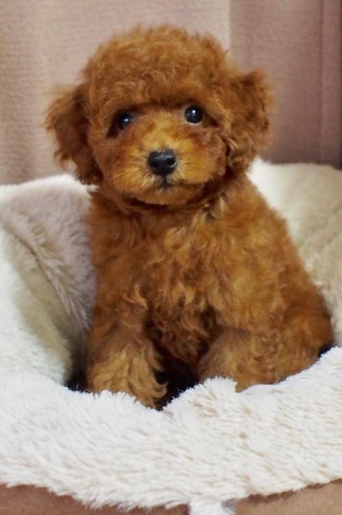 トイプードルの子犬(ID:1245611057)の2枚目の写真/更新日:2018-06-14
