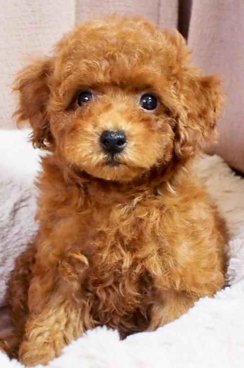 トイプードルの子犬(ID:1245611057)の3枚目の写真/更新日:2018-06-14