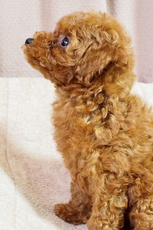 トイプードルの子犬(ID:1245611057)の4枚目の写真/更新日:2018-05-31