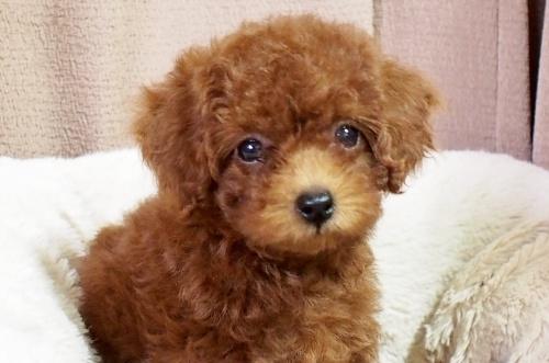 トイプードルの子犬(ID:1245611058)の2枚目の写真/更新日:2018-06-14