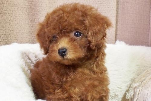 トイプードルの子犬(ID:1245611058)の4枚目の写真/更新日:2018-06-14