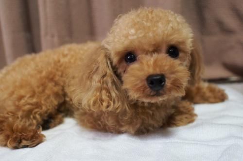 トイプードルの子犬(ID:1245611059)の2枚目の写真/更新日:2018-07-06