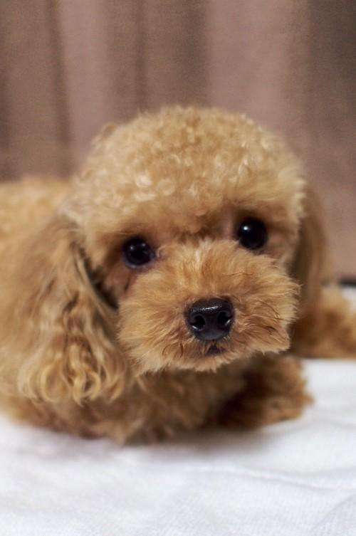 トイプードルの子犬(ID:1245611059)の3枚目の写真/更新日:2018-06-20