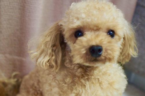 トイプードルの子犬(ID:1245611059)の4枚目の写真/更新日:2018-07-06